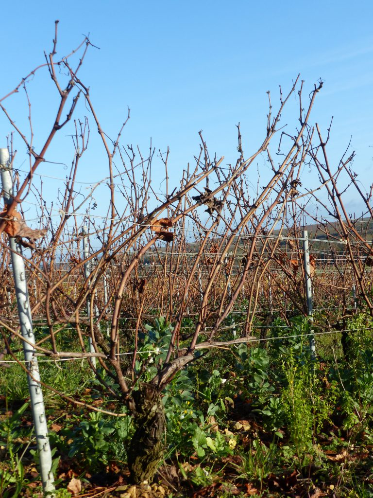 taille vigne Guyot double